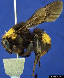 crotch bumblebee