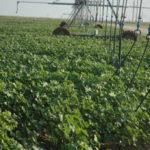 texas cotton irrigation