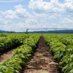 alabama cotton irrigation