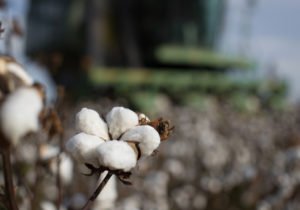 cotton, lynn farms