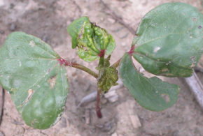 Protect The Crop From Thrips