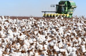 texas cotton harvest