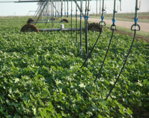 cotton requires less water than corn
