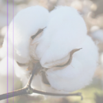 texas pima cotton