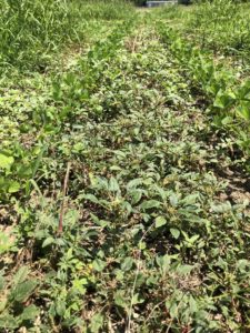 pigweed escapes