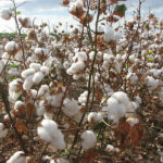 arkansas cotton