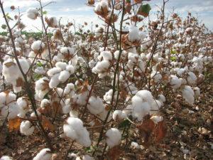 arkansas cotton