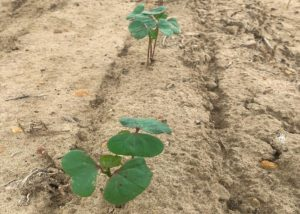 young mississippi cotton