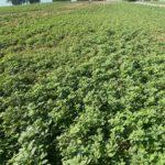 dicamba resistant pigweed