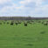Cattle Grazing Provides Benefits To Row Crop Systems