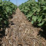 CA cotton cover crops