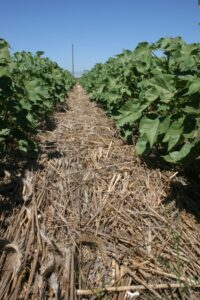 CA cotton cover crops