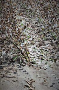 wind-damaged cotton