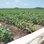 mississippi cotton irrigation