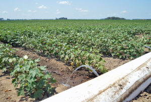 mississippi cotton irrigation