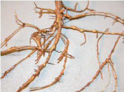 southern rootknot nematodes