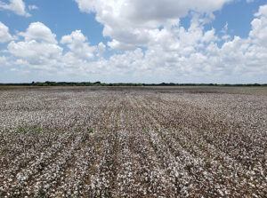 coastal bend, Texas, cotton