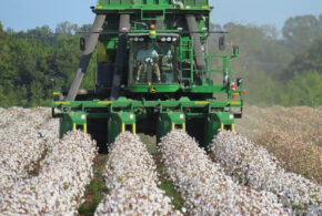 60-Inch Rows: Our Hail Mary Pass At Growing Cotton