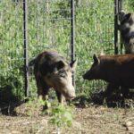 wild hogs in mississippi