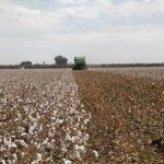 virginia cotton harvest