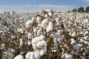 virginia cotton