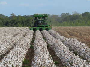 wide row cotton