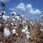 texas cotton bolls