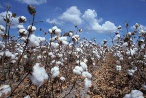 texas cotton bolls