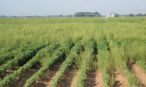 palmer pigweed in texas cotton