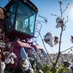 mafes cotton harvest