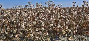 PHY 807 Pima cotton