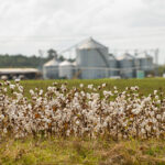 south carolina cotton