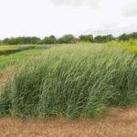 triticale cover crop