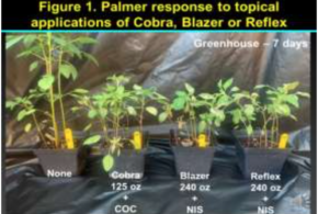 UGA researchers confirm PPO-resistant Palmer pigweed