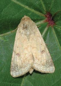 adult bollwormm moth